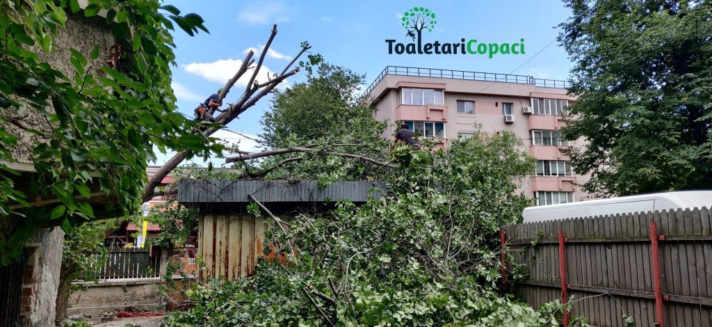 Taiere Copaci Periculosi in Bucuresti